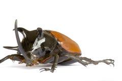 Rhinocerous Beetle Royalty Free Stock Photo