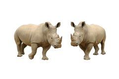 rhinocerous biel Obraz Royalty Free