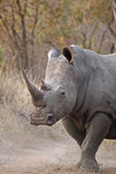 Rhinocerous blanc Photos stock