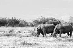 Rhinocerous blanco en peligro foto de archivo