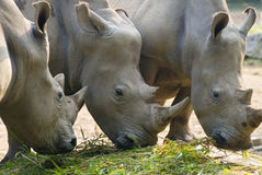 Rhinocerous eating together Royalty Free Stock Photos