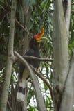 Rhinocerous hornbill Στοκ Φωτογραφία