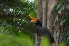 Rhinocerous hornbill Στοκ εικόνα με δικαίωμα ελεύθερης χρήσης
