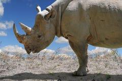 Rhinocerous i profilsikt Arkivbild
