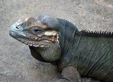 Rhinocerous Iguana. Profile of a rhinocerous iguana Stock Images