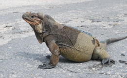 Rhinocerous Iguana Royalty Free Stock Image
