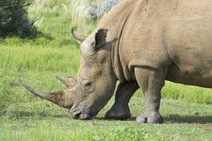 Rhinocerous matning för vit Arkivbilder