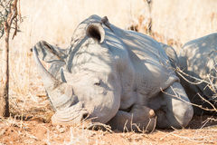 Rhinocerous resting in shade Stock Photos