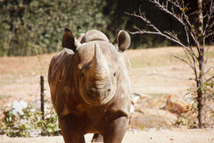 Rhinocerous Straight On Stock Photo