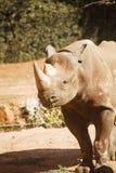 rhinocerous trawy chrupanie obraz stock
