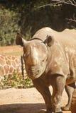 Rhinocerous Walking Toward Camera Royalty Free Stock Photos