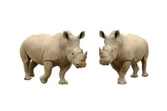 rhinocerous white Royaltyfri Bild