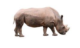 Rhinocerso Royalty Free Stock Photography
