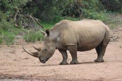 Rhinocerus imagen de archivo libre de regalías