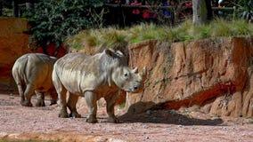 Rhinocerus blanc banque de vidéos