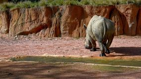 Rhinocerus blanc clips vidéos