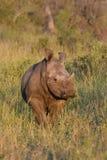 Rhinocerus blanco joven que se coloca en prado en luz de la tarde foto de archivo