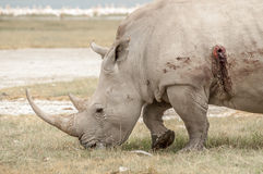 Rhinocores Hunted Royalty Free Stock Photo
