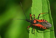 Rhinocoris assassin bug Stock Image