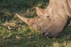 Rhinocéros avec le long klaxon mangeant l'herbe Image libre de droits