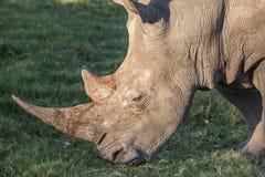 Rhinocéros avec le long klaxon mangeant l'herbe Photo stock