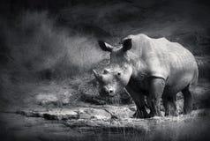 Rhinocéros blanc Photo stock