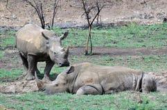 Rhinocéros blanc. Photographie stock libre de droits