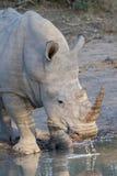 Rhinocéros blanc buvant en parc national de Kruger Images stock