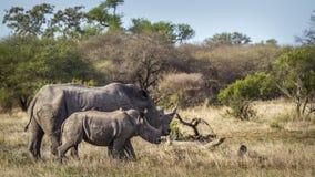 Rhinocéros blanc du sud en parc national de Kruger, Afrique du Sud Images stock