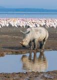 Rhinocéros dans le nakuru de lac, Kenya Image libre de droits