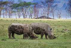 Rhinocéros de Ywo en parc national de Nakuru de lac Photographie stock