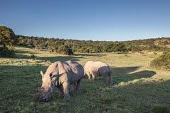 Rhinocéros deux mangeant l'herbe Photo libre de droits