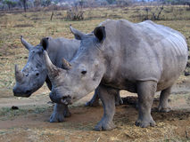 RHINOEROUS_WHITE. A female white rhino and her baby are seen at the Welgevonden Game Reserve in South Africa Royalty Free Stock Photo