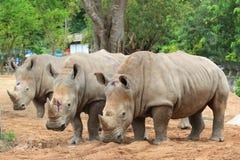 Rhinoes triples Foto de archivo