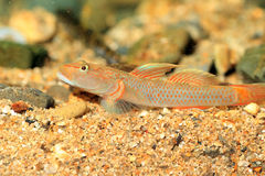 Rhinogobius flumineus goby Stock Photography