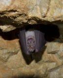 更加伟大的马蹄型蝙蝠(Rhinolophus ferrumequinum) 库存照片