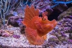 Rhinopias eschmeyeri Lurvig fisk-sportfiskare Royaltyfria Foton