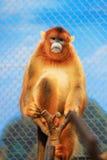 Rhinopithecus-roxellana am Ozean-Park Lizenzfreie Stockfotos