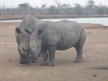 rhinos Lizenzfreie Stockfotos