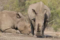 2 rhinos Стоковое Фото