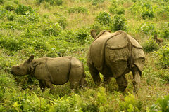 Rhinos. Two rhinos in natural habitat Chitwan National Park Nepal royalty free stock photo