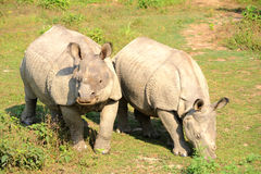 rhinos Arkivfoto