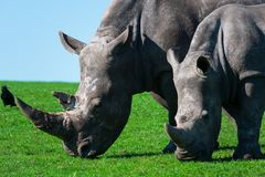 Rhinos, mum and her calf enjoying the grass royalty free stock images