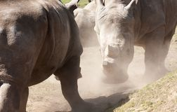 Rhinos Stock Photo