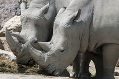 Rhinos. Two white rhinos eating together under a hot summer sun stock photography