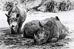 Rhinos. Three rhinos taking shade in black and white Royalty Free Stock Image