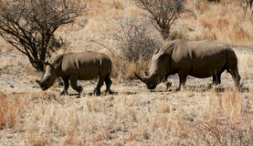 Rhinos. Mother and baby rhino in africa stock photo