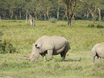 Rhinos Royalty Free Stock Photos