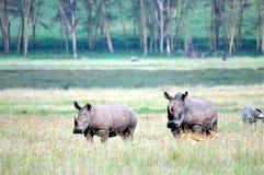 Rhinos Arkivfoton