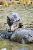 Rhinos Стоковое Изображение